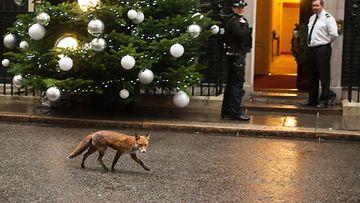 Kettu jolkottelee joulupuun editse Lontoon Downing Streetillä 17.12.2014