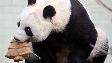 Panda nauttii joulupuun muotoista kakkua Edinburgh Zoossa, Skotlannissa.