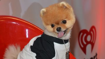 Jiff the Pomeranian osallistuu Y100s Jingle Ball 2014 -gaalaan