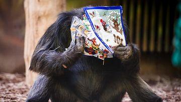 Simpanssi sai joululahjan tsekkiläisessä eläintarhassa