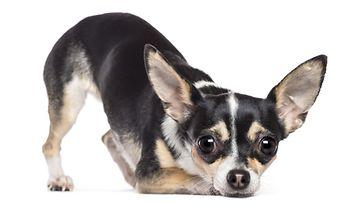 chihuahua, koira, pelokas