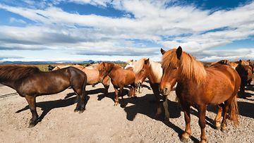 islanti, hevoset
