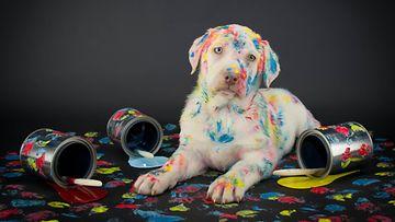 koira, maali
