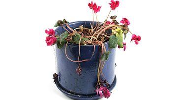 kasvi nuupahtanut