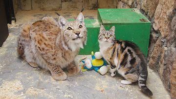 Kissa ja ilves