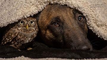 Koira ja pöllö