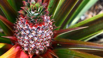 ananas, kasvi