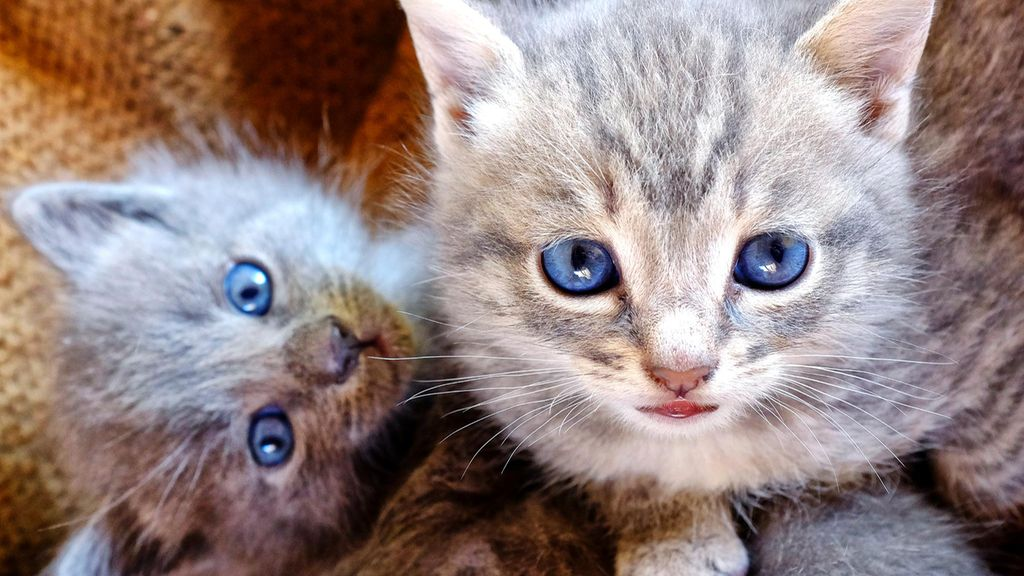 Kissa Luovutusikä