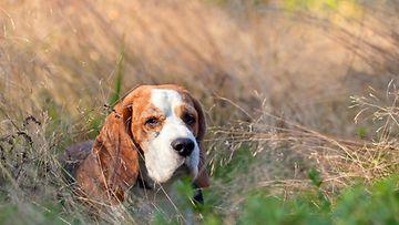 Beagle-koira