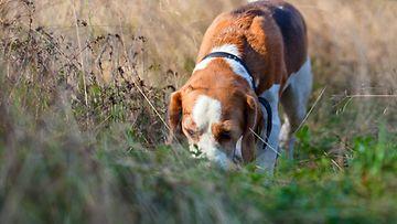 Beagle-koira (1)
