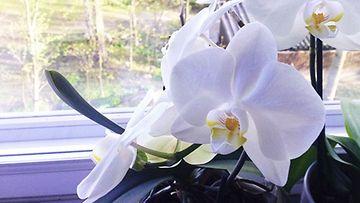 Orkideat viihtyvät ikkunalaudalla.