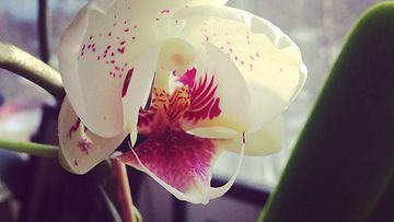 Orkideat kukkivat pienellä vaivalla