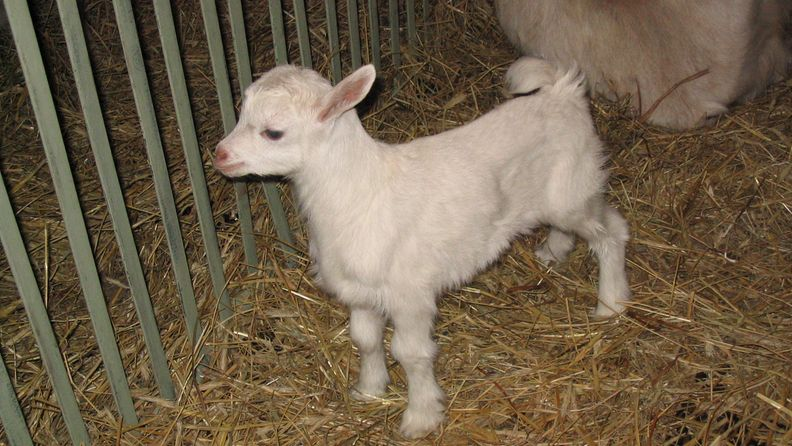 Small_goat