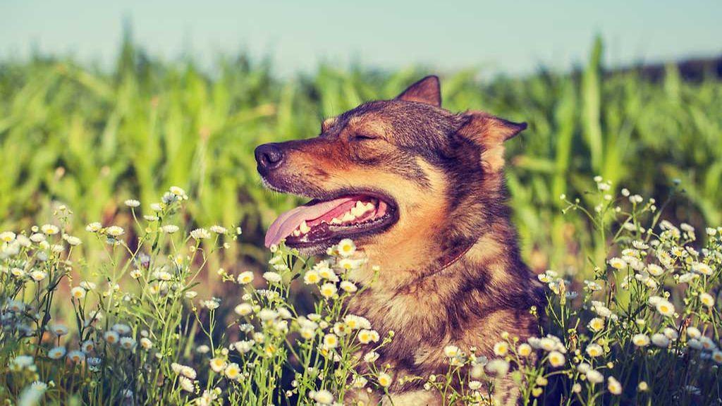Koiran Läähätys