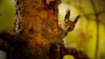 Orava metsässä