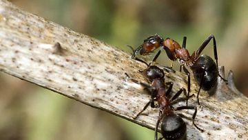 muurahaiset (1)