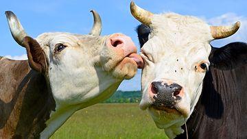 lehmät