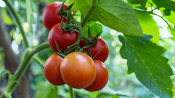 tomaattipuska
