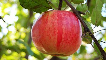 omena_puussa