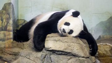 Panda Mei Xiang Washington
