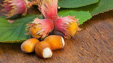 Villihasselpähkinä