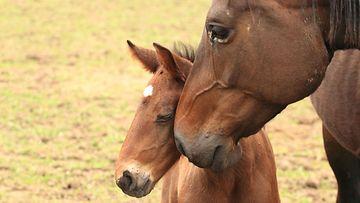 hevonen, tamma, varsa