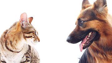 kissa ja saksanpaimenkoira