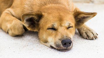 koira, makuulla