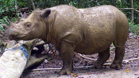 Sumatransarvikuono