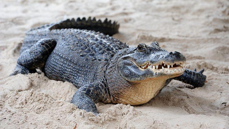 Alligaattori