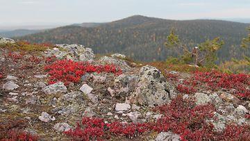 Ruskaa Rukan huipulla 14. syyskuuta 2015. Kuva: Tuula Sipola