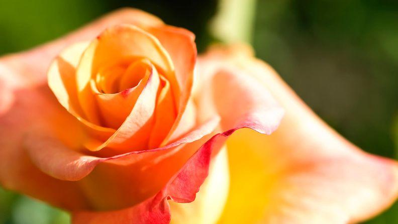 oranssi_ruusu