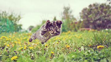 kissa lentää
