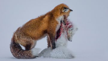 """Tale of two foxes"". Kuva: Don Gutoski/Wildlife Photographer of the Year"