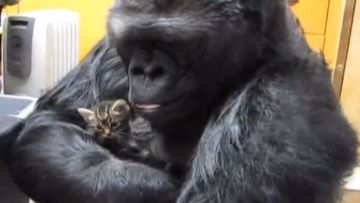 Koko-gorilla ja kissanpentu, 2014 (2)