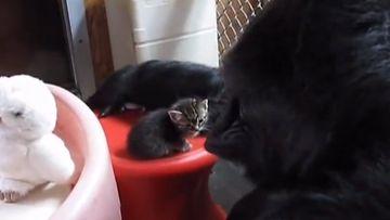 Koko-gorilla ja kissanpentu, 2014 (3)