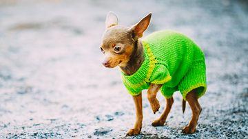 Koira takissa (1)