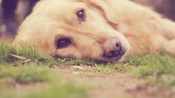 koira, kultainen noutaja