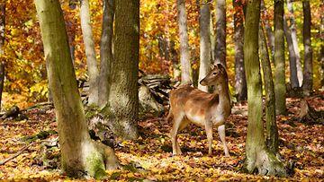 kauris metsässä
