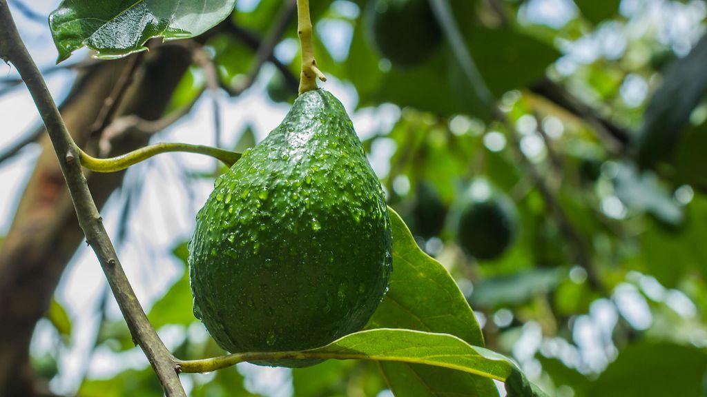 Avocado Suomeksi