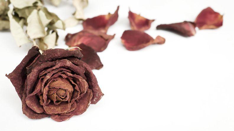 kuollut ruusu1