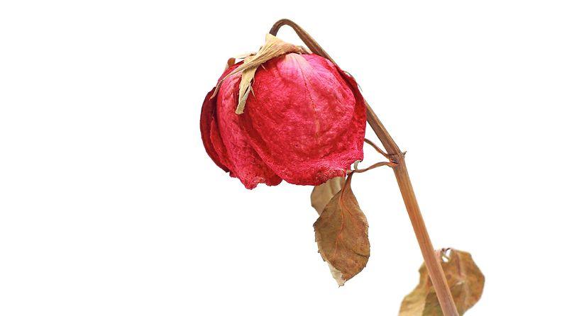 kuollut ruusu2
