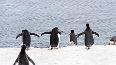 Ilmastonmuutoksen pienet uhrit frakeissaan – pingviinien määrä romahtanut paikoin jopa 85 prosentilla
