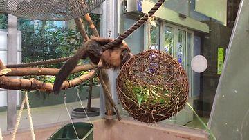 Korkeasaaren apinat saavat joululahjoja