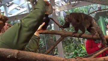 Ville Vepsäläinen antaa pähkinöitä apinoille
