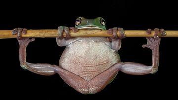 barcroft_sammakko