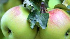 Omenasadosta ennustetaan hyv�� – nyt sadonkorjuussa j�nnitet��n, riitt��k� poutas��