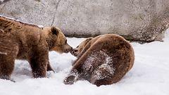 Video: Korkeasaaren karhut ottivat varasl�hd�n kev��seen
