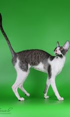 Cornish Rex. Kuva: kissaliitto