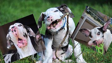 Mutka-koira hallitsee ilmeilyn taidon.